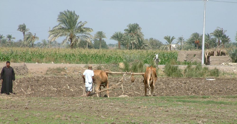 Traditional Ploughing at Byhamu